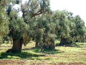 Olives trees in Tuscany
